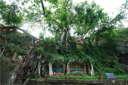 四川有棵千年古榕树,树根下藏着上千尊佛像,被工匠无意发现